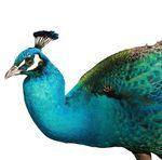 Copy of Peacock