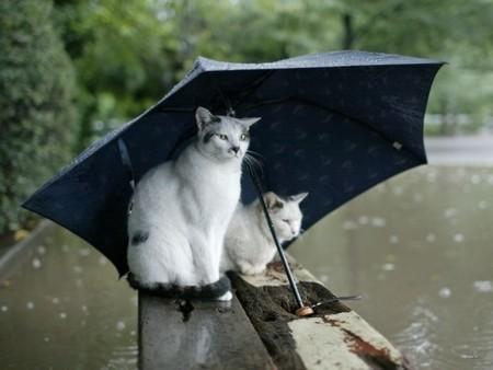 Cats in Rain